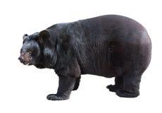 Condizione asiatica dell'orso nero Fotografie Stock Libere da Diritti