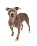 Condizione attenta del cane di Staffordshire Terrier americano Immagini Stock Libere da Diritti