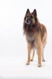 Condizione belga del cane di Tervuren del pastore, isolata Immagini Stock Libere da Diritti