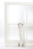 Condizione bianca del gattino Immagine Stock