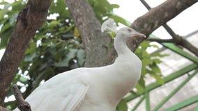 Condizione bianca del pavone su un ramo stock footage