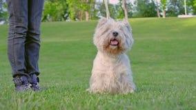 Condizione bianca di West Highland Terrier stock footage