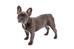 Condizione blu del bulldog francese Fotografia Stock
