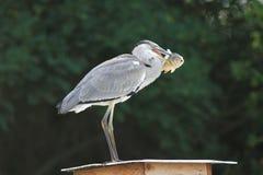 Condizione cinerea di Grey Heron Ardea con la carpa Fotografia Stock