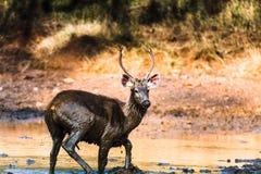 Condizione dei cervi del Sambar Immagine Stock