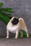 Condizione del cane del Pug fotografia stock libera da diritti
