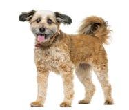 Condizione del cane dell'incrocio Immagini Stock Libere da Diritti