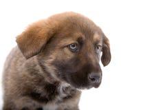Condizione del cane di cucciolo del Brown Fotografie Stock