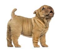 Condizione del cucciolo di Shar Pei, scortecciando, isolato sul whi Fotografia Stock Libera da Diritti