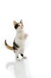 Condizione del gattino Immagine Stock