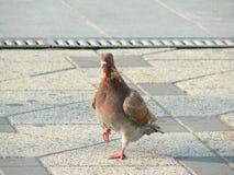 Condizione del piccione Immagine Stock