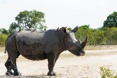 Condizione del rinoceronte ed osservare la sua area surrounging nel parco fotografia stock