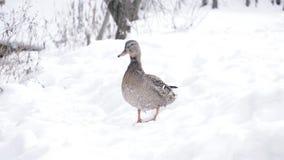 Condizione dell'anatra sulla neve archivi video