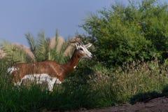Condizione dell'antilope saltante nell'erba con un fondo del cielo blu fotografie stock libere da diritti