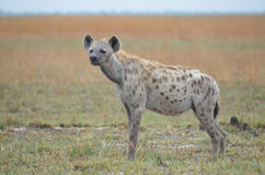 Condizione dell'iena Fotografie Stock Libere da Diritti