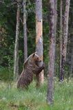 Condizione dell'orso Fotografie Stock Libere da Diritti