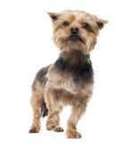 Condizione dell'Yorkshire terrier, distogliente lo sguardo, allarme Fotografia Stock