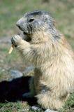Condizione della marmotta e mangiare, in Savoia, la Francia Immagine Stock