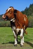 Condizione della mucca del Brown Immagini Stock
