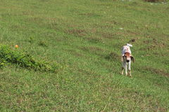 Condizione della mucca del vitello Immagine Stock Libera da Diritti