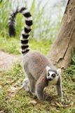 Condizione delle lemure catta Fotografia Stock