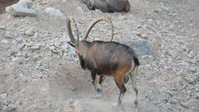 Condizione dello stambecco di Nubian e fare un punto di seduta, audace ostentante a quei corni nubiana della capra video d archivio
