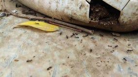 Condizione di azione della formica Gruppo di unità dell'alimento della raccolta della formica, lavoro di gruppo di concetto insie stock footage