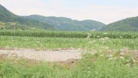 Condizione e funzionamento del bambino del bambino piccolo fra il campo di erba verde del giorno soleggiato del mais o del mais a archivi video