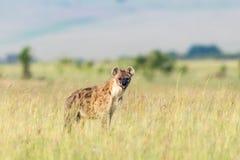 Condizione e sguardo dell'iena Immagini Stock Libere da Diritti