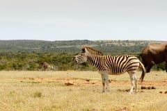Condizione e soffocamento della zebra di Burchell Fotografia Stock Libera da Diritti