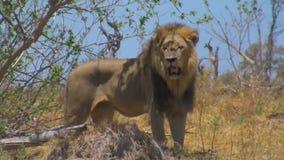 Condizione e sorveglianza adulte del leone stock footage