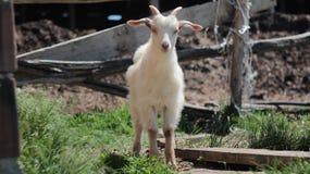 Condizione e sorveglianza bianche curiose della capra Immagini Stock