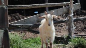Condizione e sorveglianza bianche della capra Immagini Stock