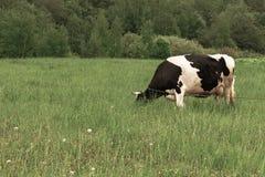 Condizione macchiata in bianco e nero su un pascolo rurale verde, bovini da latte della vacca da latte dell'Holstein che pascono  immagine stock libera da diritti