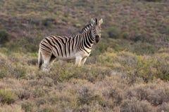 Condizione maschio della zebra Fotografie Stock Libere da Diritti