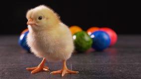 Condizione neonata gialla del pollo davanti alle uova di Pasqua tinte variopinte archivi video