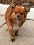 Condizione rossa triste del cane   Fotografia Stock Libera da Diritti