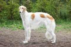 Condizione russa del cane del borzoi Immagine Stock