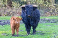 Condizione scozzese di higlanders del vitello e della mucca insieme immagine stock