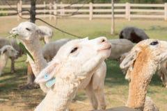 Condizione sveglia bianca della lana dell'alpaga Fotografia Stock