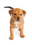 Condizione sveglia del cucciolo dell'incrocio Fotografia Stock Libera da Diritti