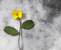 Condolence card - small yellow flower Stock Photos