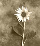 Condolence card - sunflower Stock Photos