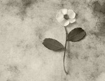 Condolence card - white flower Stock Photo