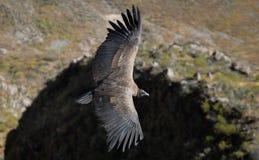 Free Condor Royalty Free Stock Photography - 10862507