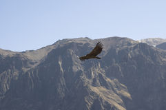 Condor. Fly in the sky - Andean beckground stock photography