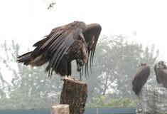 Condor Stock Photography