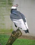 Condor 2 Royalty Free Stock Photo