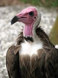 Condor Stock Image