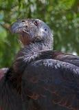 Condor stock fotografie